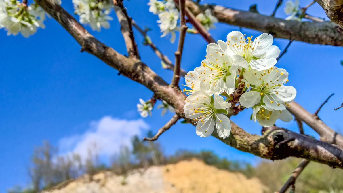 Spring Blossom by megadantron