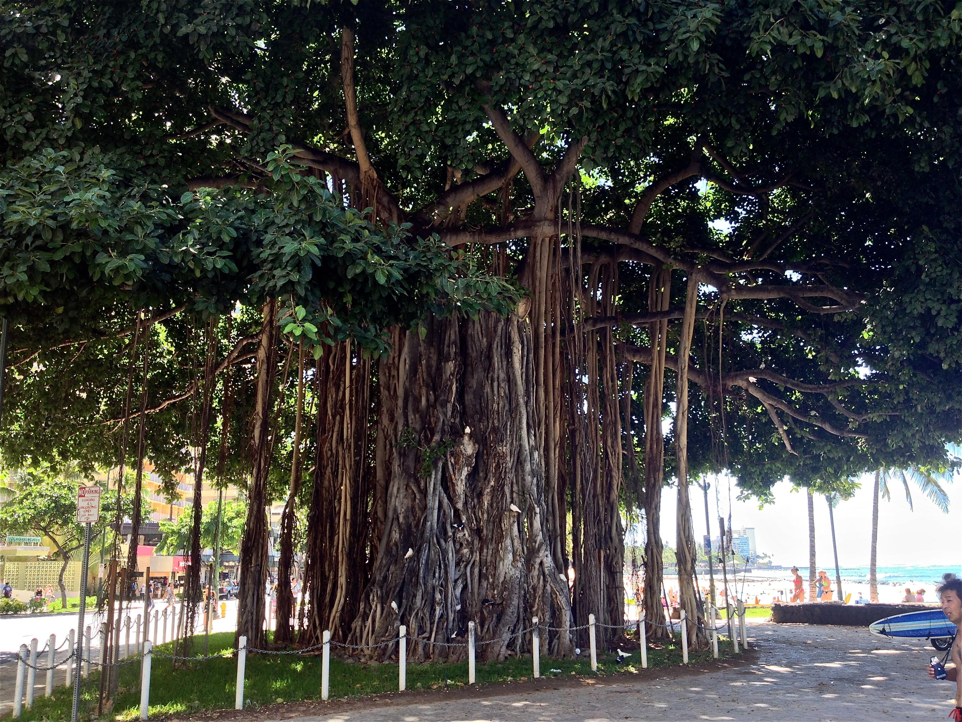 Waikiki Beach Banyan Tree By Gn4nw 2017