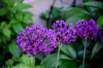 Onion Flower- 1 by emspanglerphotos