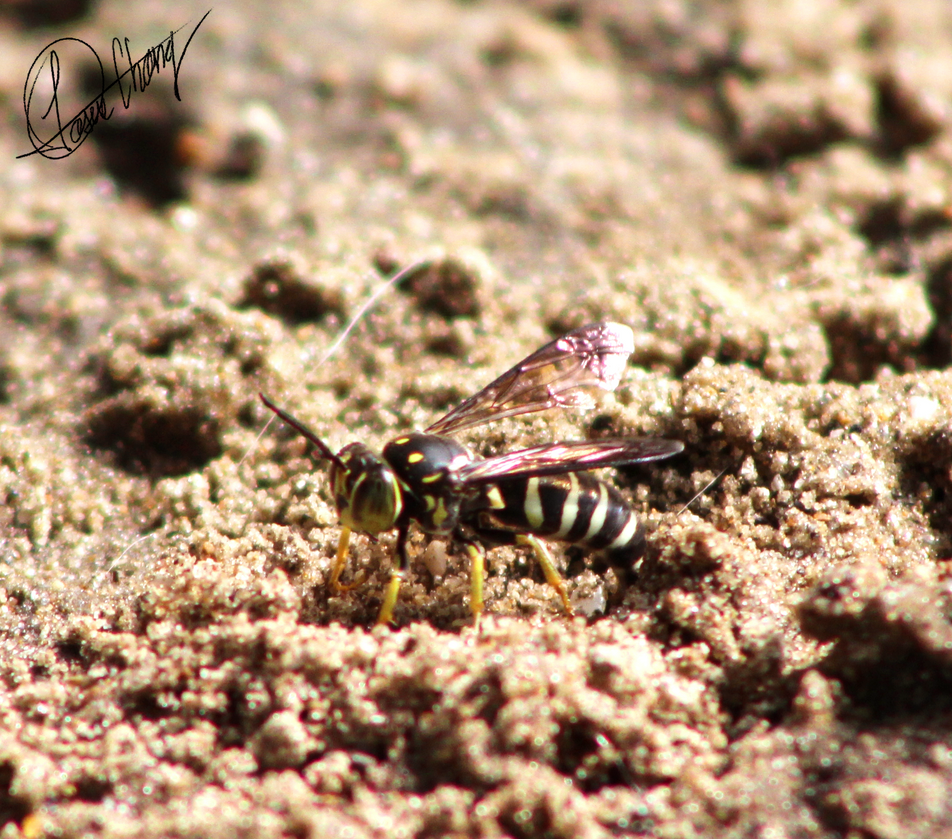 Sand Wasp by Metadraxis