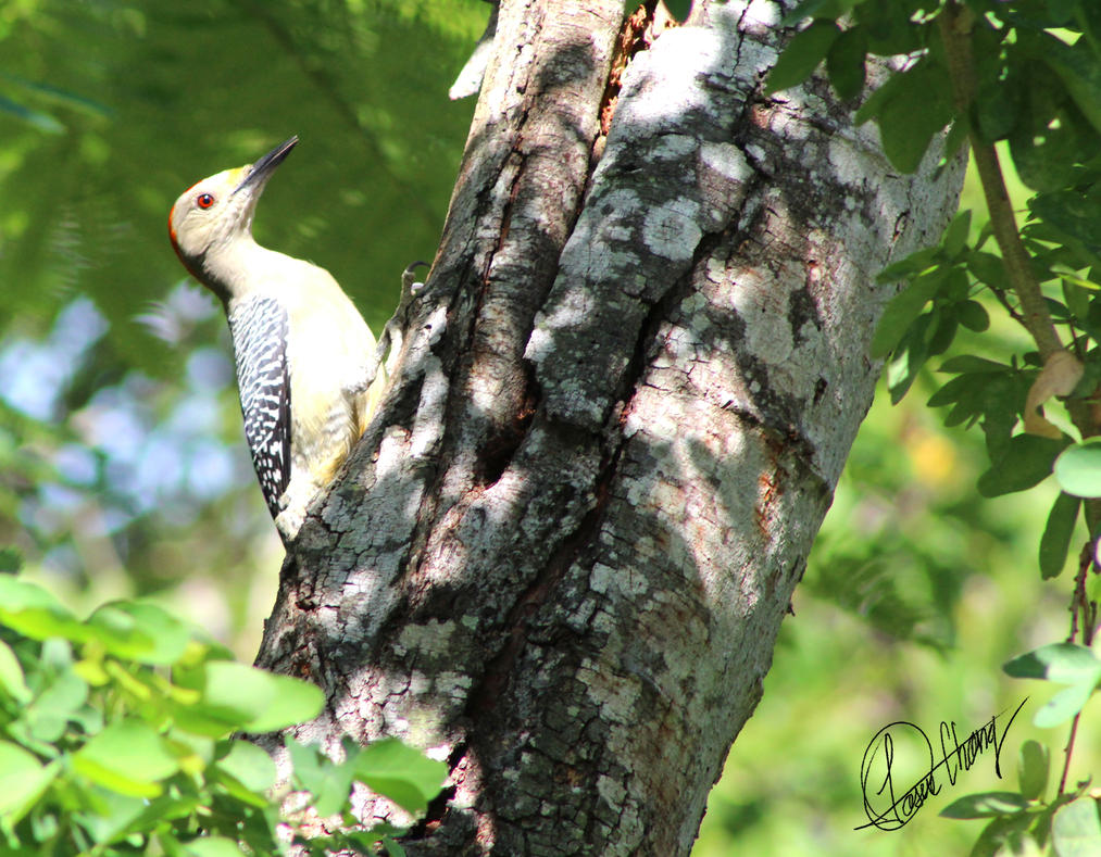 Red-bellied woodpecker by Metadraxis