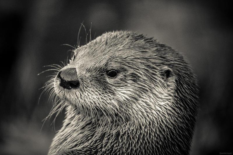 River Otter by biohazardfan