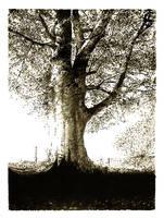 tree by paolinobeta