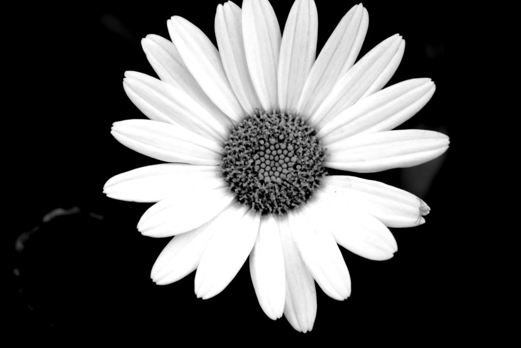 Black and White Daisy by xXNightWalkerXx on DeviantArt