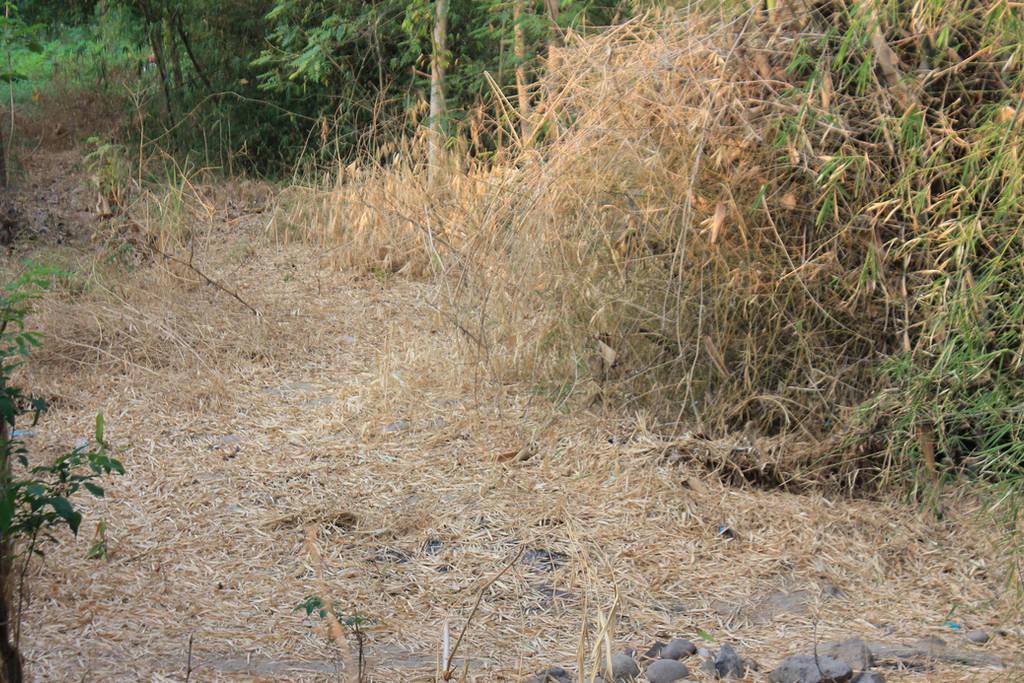 dry bamboo trees by andhikazanuar