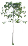 tree 2 png