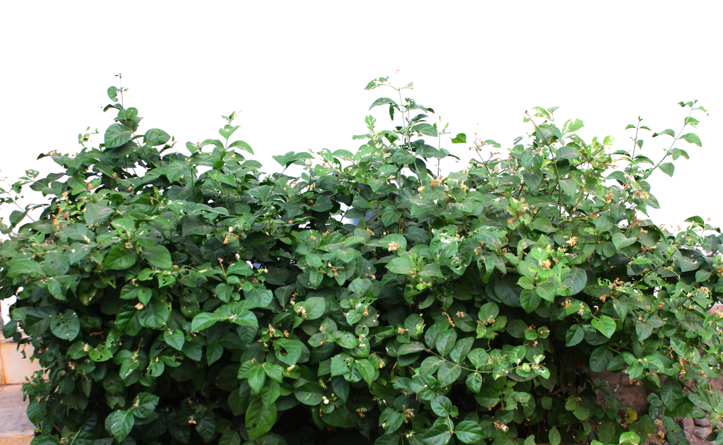 jasmine leaf PNG by andhikazanuar