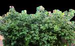 jasmine leaf PNG