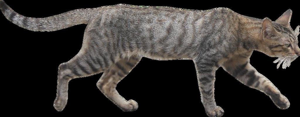 Wildcat PNG