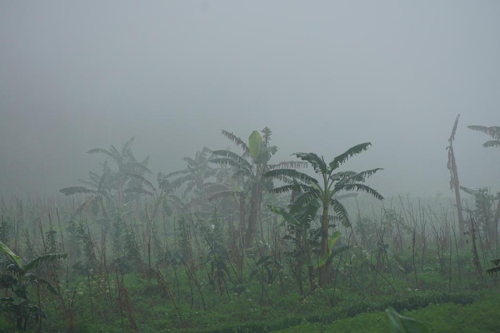 banana trees in fog