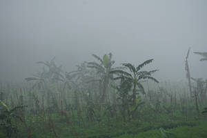 banana trees in fog by andhikazanuar