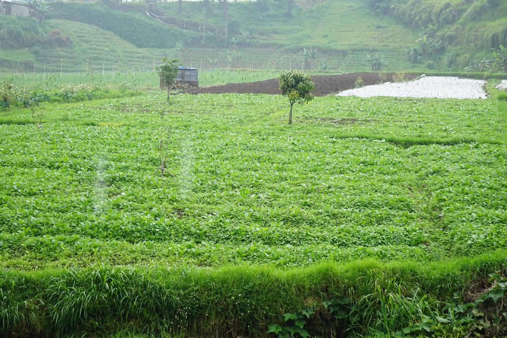 views of rice fields by andhikazanuar