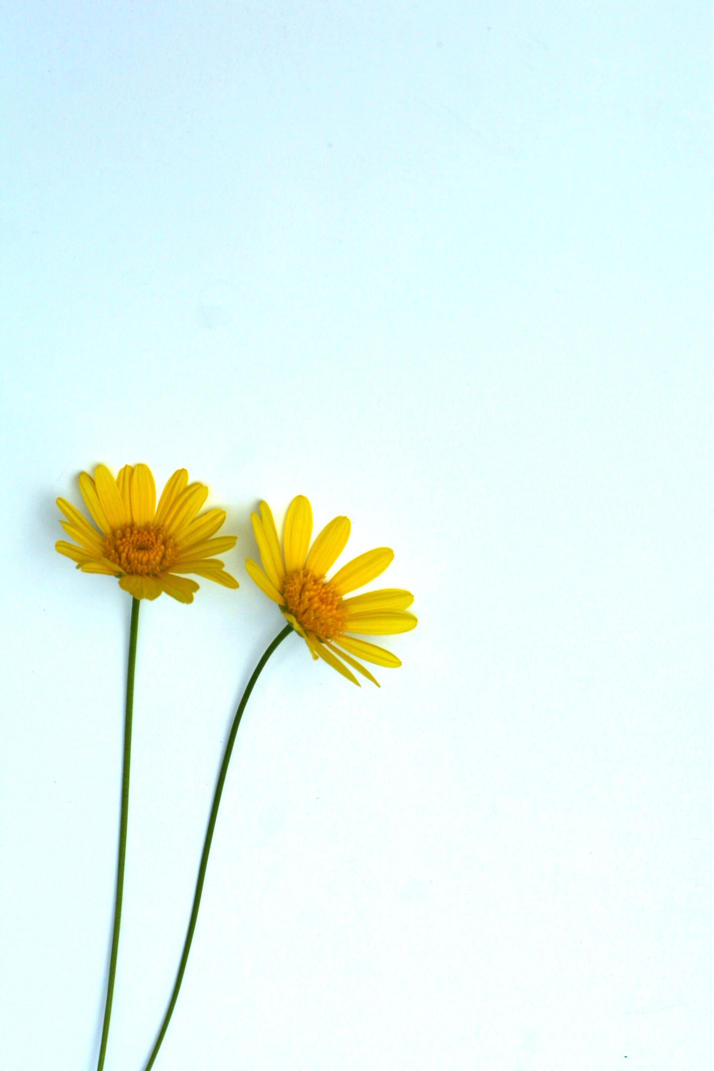 Marguerite 2 by gisu-stock