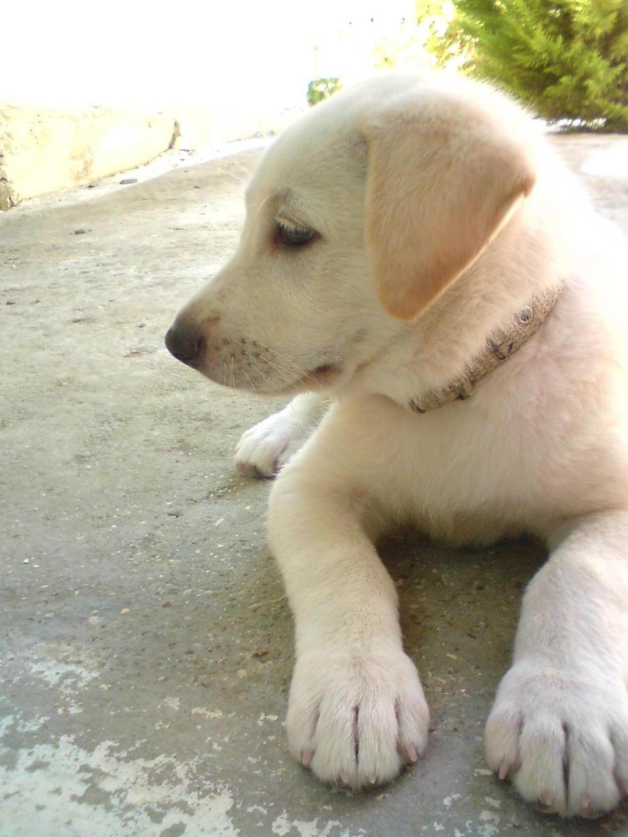Brutus Labrador Dog Hammonton Nj Furry Angels Rescue