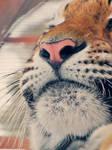 Meow Tiger