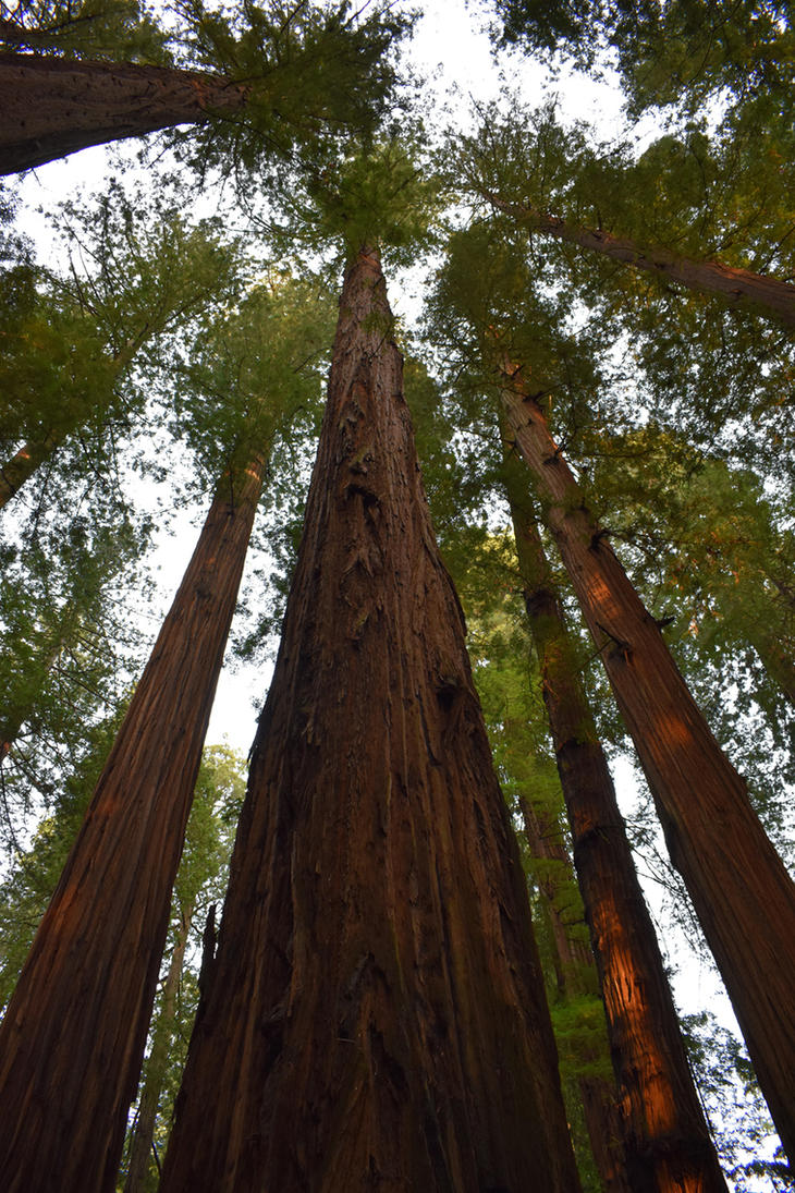 Redwood Sky View by jdurbin