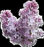 Lilac - Syringa cutout