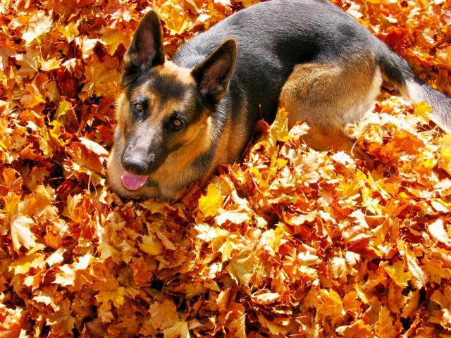 Maple leafs fan by gonecanuck