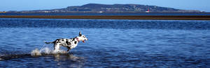 Great Dane across the sea