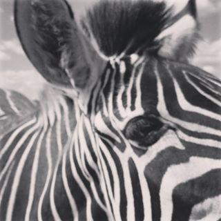 Zebra by TehForeverAloner