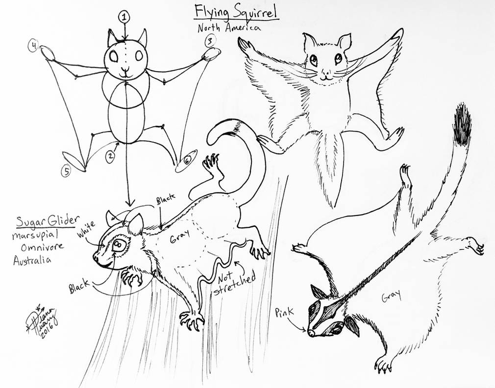 Draw Flying Squirrel And Sugar Glider By Diana Huang On Deviantart