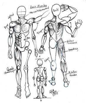 Draw Basic Muscles for Artists