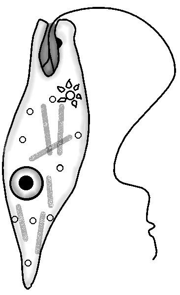 euglena line drawing by sciencedoodles on deviantart