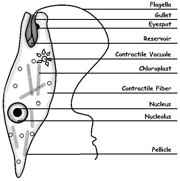 labeled euglena line drawing by sciencedoodles on deviantart : diagram of euglena - findchart.co