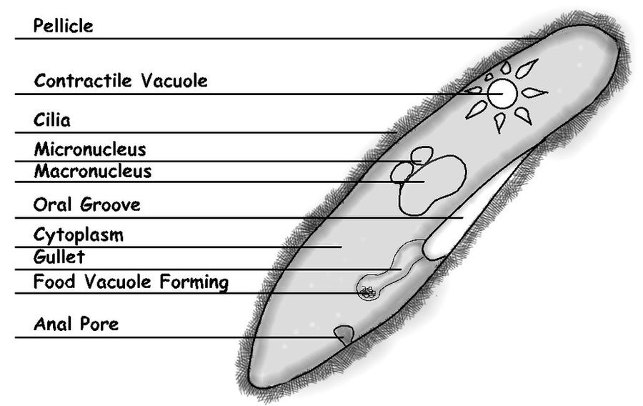 Labeled paramecium diagram by sciencedoodles on deviantart labeled paramecium diagram by sciencedoodles ccuart