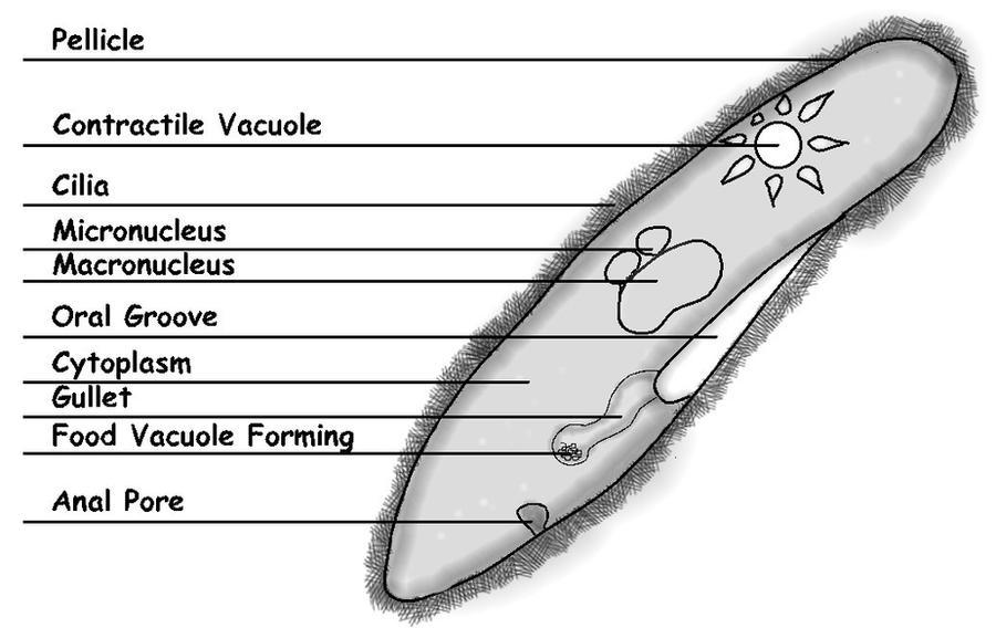 Labeled Paramecium Caudatum Diagram Block And Schematic Diagrams