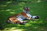 Siberian Bengal Tigress