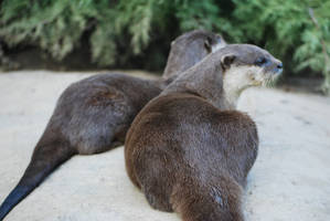 Two Otters by NicamShilova