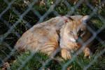 Jungle Cat 2