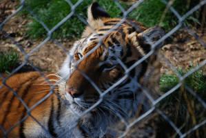 Tigress 2 by NicamShilova