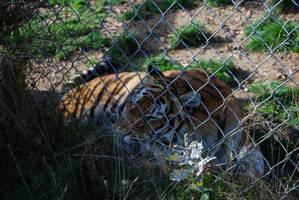 Resting Tigress by NicamShilova