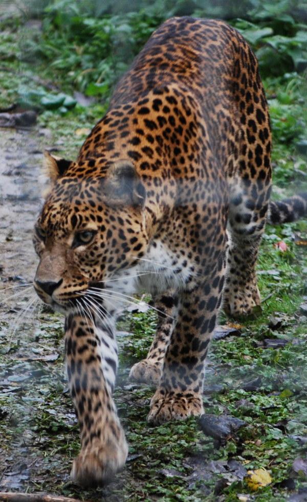 Asian Panther 111
