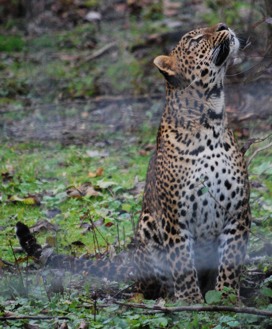 Asian Panther 21