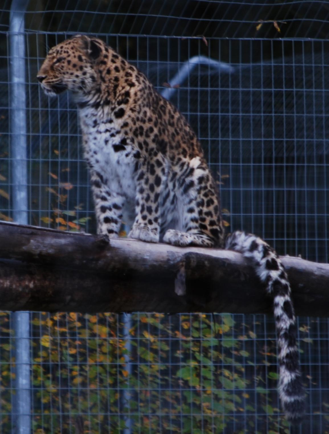 Asian Panther 7