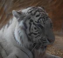 Angry White Tigress 4 by NicamShilova