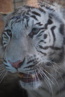 Angry White Tigress 5 by NicamShilova