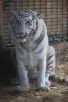 Angry White Tigress 6 by NicamShilova