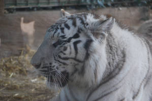 Angry White Tigress 7 by NicamShilova