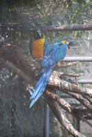 Blue-and-yellow Macaws by NicamShilova
