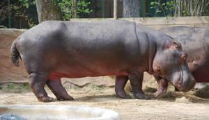 Hippopotamus by NicamShilova
