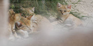 The Sand Cat Family