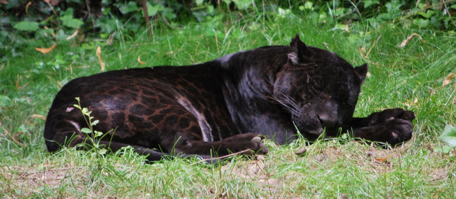 Dibujo grupal del FORO Sleeping_black_jaguar_by_nicamshilova-d45h9dj