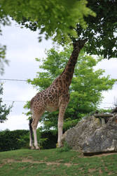 Giraffe Lunch by NicamShilova