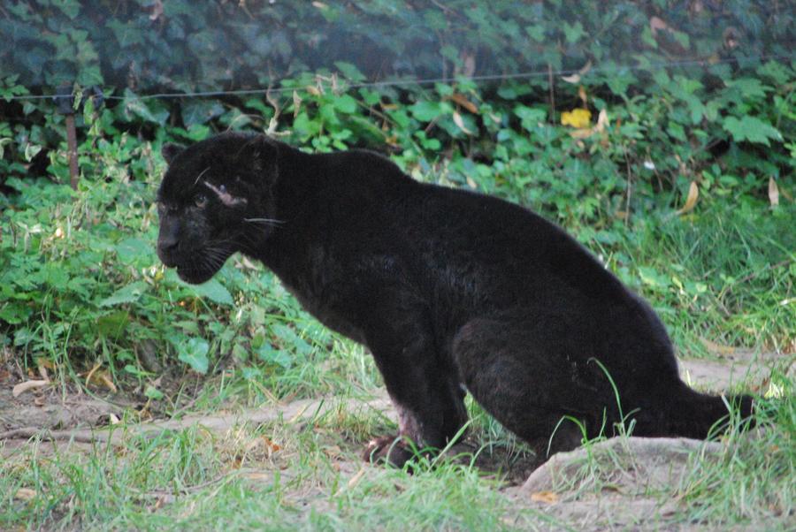Nervous Black Jaguar Cub by NicamShilova