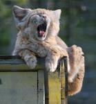 Sand Cat Yawn