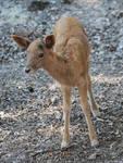 Roe Deer Cub